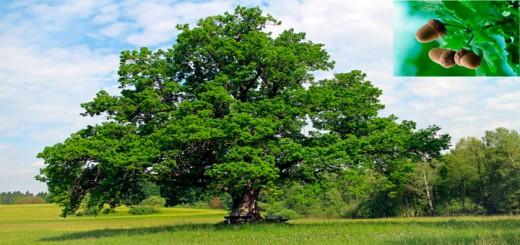 oakacorn